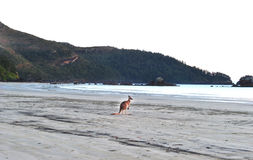 Australian eastern grey kangaroo,cape hillsborough Stock Photos