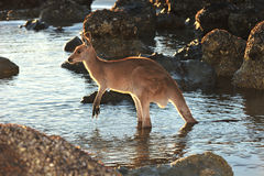 Australian eastern grey kangaroo in water,mackay Stock Photos