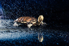Australian eastern long-necked turtle in heavy rain Stock Photography