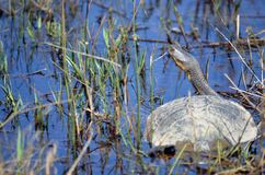 Australian Eastern long-necked turtle in pond. Eastern long-necked turtle, Chelodina longicollis, among reeds, from Canowindra, central west NSW, Australia. Also Stock Photos