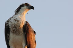 An Australian Eastern Osprey (Pandion cristatus) Royalty Free Stock Photography