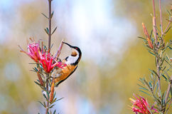 Australian Eastern Spinebill feeding on a Mountain Devil flower. Australian native Eastern Spinebill, Acanthorhynchus tenuirostris, feeding on nectar from a red Stock Images