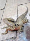 Australian Eastern Water Dragon Stock Photos