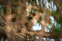 Australian Eastern Water Dragon in hiding. Stock Photo