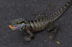Australian Eastern Water Dragon (Lizard) Stock Photography