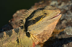 Australian Eastern Water Dragon Royalty Free Stock Images