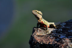 Australian Eastern Water Dragon Stock Photography