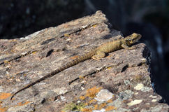 Australian Eastern Water Dragon Stock Photos