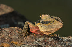 Australian Eastern Water Dragon Royalty Free Stock Photos