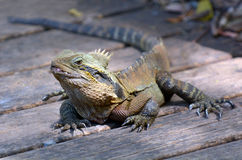 Australian Eastern Water Dragon Royalty Free Stock Photography