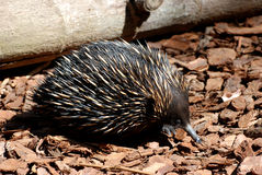 Australian Echidna Royalty Free Stock Photos