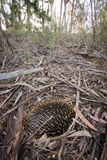 Australian echidna. Hiding in bush land with quills raised in defense Stock Photos