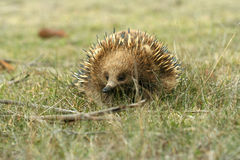 Australian Echidna  Stock Photography