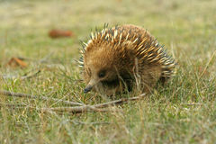 Australian Echidna. An ant eater that lives in Australia. It is also a monotreme which is endemic to Australia. It is featured here in natural grassy surrounds Royalty Free Stock Photo