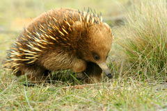 Australian Echidna. A beautiful, detailed portrait of an Australian Echidna shown here in its natural grassy environment. An ant eater that lives in Australia