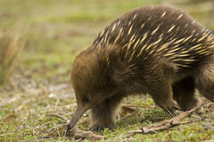 Australian Echidna. A closeup view of an Australian Echidna or anteater. Also a monotreme or mammal that gives birth by laying eggs Royalty Free Stock Photos