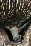 Australian Echidna Stock Photo