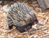 Australian echidna. This is an australian ant eater but it lays eggs Royalty Free Stock Image
