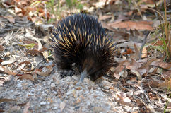 Australian echidna digging for ants Royalty Free Stock Photography