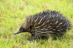 Australian Echidna or Spiny Anteater an icon animal wildlife Australia Royalty Free Stock Photos