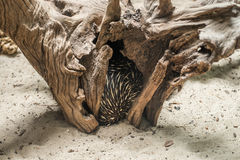 Australian echidna (Tachyglossus aculeatus) hiding inisde a tree royalty free stock photo