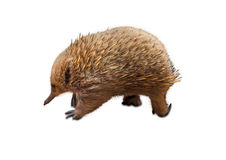 Australian Echidna. Echidna, Tachyglossus species, isolated on white background. It 'a mammal, the Order of Monotreme, because breastfeeding although spawns. It Royalty Free Stock Image