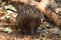 Australian Echidna Walks in the bush Royalty Free Stock Photo