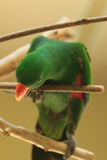 Australian eclestus parrot Royalty Free Stock Image