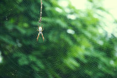 Australian edible golden silk spider Royalty Free Stock Photo