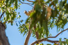 Australian Egret perched in a tree near the South Yunderup estuary. In Australia stock image