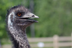 Australian Emu Stock Photography