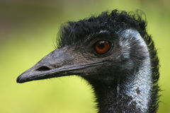Australian Emu. Portrait of an Australian Emu with funny hair-style stock image
