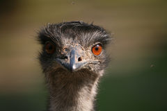 Australian Emu Stock Photography
