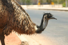 Australian Emu Royalty Free Stock Photo