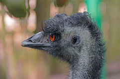 Australian emu close-up. Emu Dromaius novaehollandiae - a bird of the order of cassowaries, the largest Australian bird. The second largest bird after an ostrich Stock Images