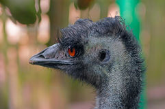 Australian emu close-up. Emu Dromaius novaehollandiae - a bird of the order of cassowaries, the largest Australian bird. The second largest bird after an ostrich Royalty Free Stock Image