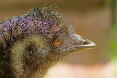 Australian emu close-up. Emu Dromaius novaehollandiae - a bird of the order of cassowaries, the largest Australian bird. The second largest bird after an ostrich Stock Photos