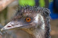 Australian emu close-up Royalty Free Stock Photo
