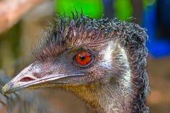 Australian emu close-up Royalty Free Stock Images