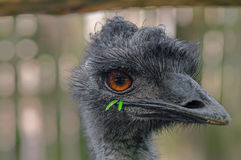 Australian emu close-up. Emu`s head, from the beak funny green grass sticks out. Close-up Royalty Free Stock Image