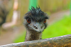 Australian emu close-up. Emu`s wet head looks into the lens with big brown eyes. Close-up Royalty Free Stock Images