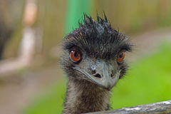 Australian emu close-up. Emu`s wet head looks into the lens with big brown eyes. Close-up Royalty Free Stock Image