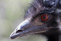 Australian Emu Stock Image