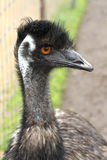 Australian Emu. Poses for portrait Stock Photos