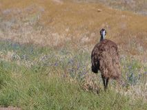 Australian emu Royalty Free Stock Photo