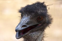 An Australian Emu Dromaius novaehollandiae head  close up view royalty free stock images