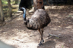 Australian Emu  Dromaius species. The  softly feathered Australian emu Dromaius species is second largest land bird in the world , lives in arid Australian Stock Photo