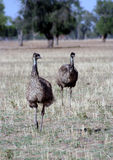 Australian Emu Pair. Emu Pair in a paddock in outback NSW, Australia Royalty Free Stock Photography