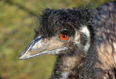 Australian Emu in profile Stock Images