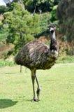 Australian emu at Tower Hill wildlife reserve Stock Image